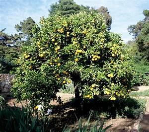 Planter Un Citronnier : oranger planter et entretenir ooreka ~ Melissatoandfro.com Idées de Décoration