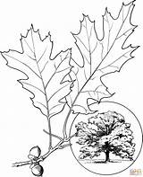 Oak Coloring Leaves Colorare Printable Leaf Northern Foglie Disegni Quercia Disegno Champion Trees Tattoo Tree Template Stampare Kleurplaat Dab Google sketch template