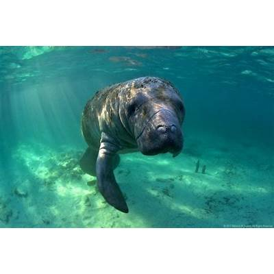 Florida Manatees Face a Tough Battle Against Boats and