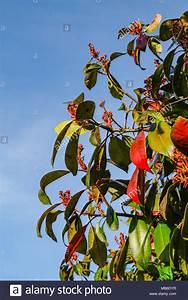 Red Robin Baum : red robin leaves stockfotos red robin leaves bilder alamy ~ Frokenaadalensverden.com Haus und Dekorationen