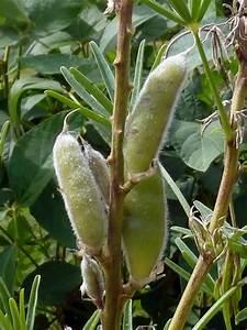 Was Ist Lupine : blaue lupine lupinus angustifolius bl tenpflanzen naturegate ~ Yasmunasinghe.com Haus und Dekorationen