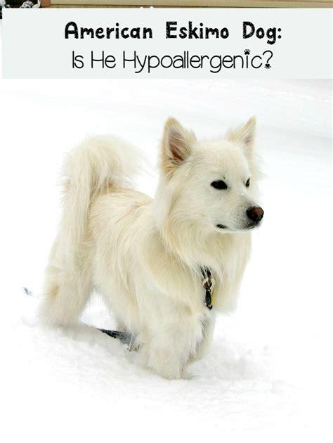 American Eskimo Shedding by American Eskimo Not Hypoallergenic