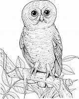 Owl Coloring Pages Eyed Owls Printable Lechuzas Realistic Burrowing Drawing Barn Animals Hoot Spotted Buhos Sheets Adult Printables Designlooter Birds sketch template