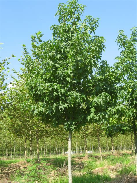 sweet gum tree liquidambar styraciflua cherokee sweetgum scenic hills nursery
