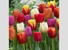 Van Zyverden Tulips Bulbs Triumph Mixture Set of 100