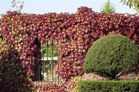 immergrüne bepflanzungen am gartenzaun winterharte kletterpflanzen kletterpflanzen ratgeber