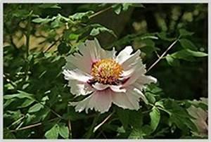 Garten Mohn Sorten : pfingstrosen lilie mohn narzissen petunien bl ten ~ Michelbontemps.com Haus und Dekorationen