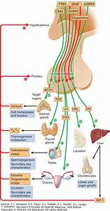 Physiology Of Anterior Pituitary Hormones