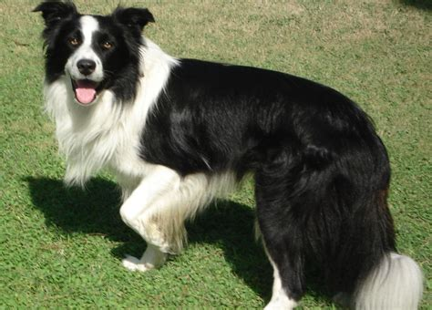 Border Collie Full Grown Www Pixshark Com Images Galleries With A Bite
