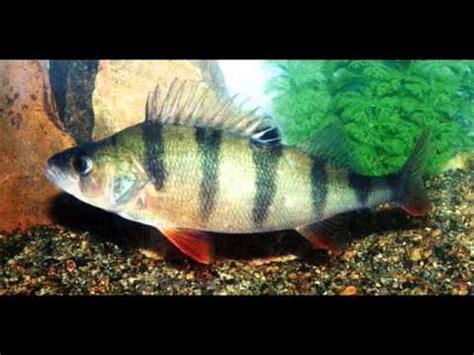 presentation de tout les poissons d eau douce peche