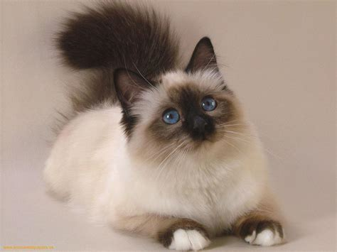 Persian  Information, Health, Pictures & Training Pet Paw