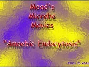 Elements Of Nucleic Acids Amoeba Feeding Endocytosis I Biology