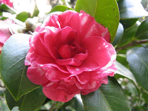 where to plant camellia camellia japonica bing images
