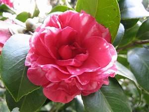Camellia Japonica Winterhart : stylebunny marzo 2013 ~ Eleganceandgraceweddings.com Haus und Dekorationen