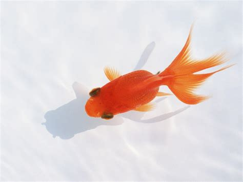 Animated Goldfish Wallpaper - goldfish wallpapers wallpaper cave