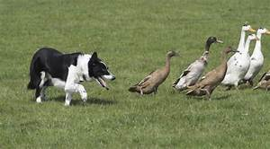 Herding Dog Breeds: When Fido's Rounding Things Out For You