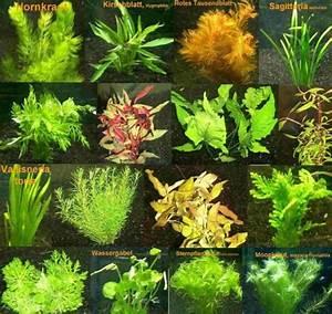 Aquarium Pflanzen Schnellwachsend : 4 bund ca 25 wasserpflanzen 2 d ngekugeln real ~ Frokenaadalensverden.com Haus und Dekorationen