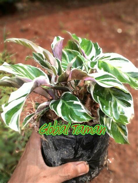 jual bibit tanaman hias calathea saputangan tanaman hias