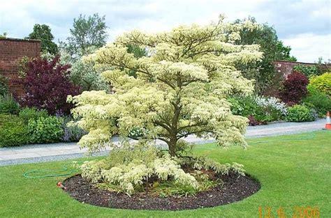 small outdoor trees dereń pagodowy cornus controversa 5534