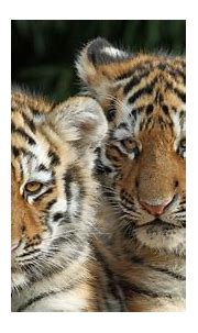 Tigers 4K HD Animals Wallpapers | HD Wallpapers | ID #54787