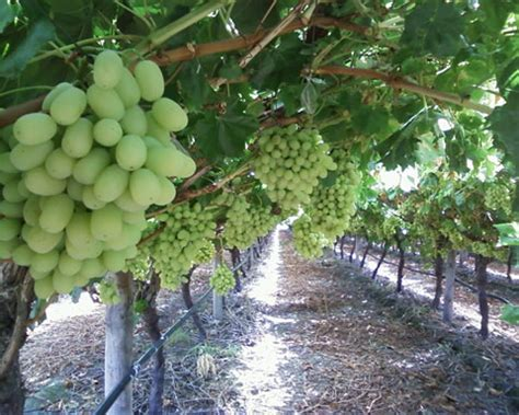 how do grape vines grow how to grow grapes in your backyard