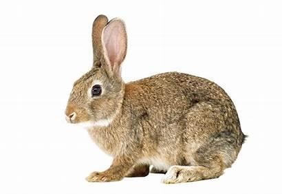 Rabbit Conejo Hare Bunny Clipart Lapin Kelinci