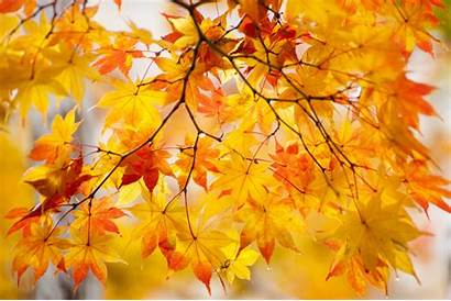 Maple Autumn Nature Foliage Branches Leaf Wallpaperup