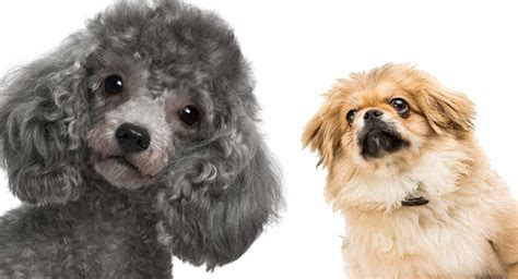 peekapoo  complete guide   pekingese poodle mix