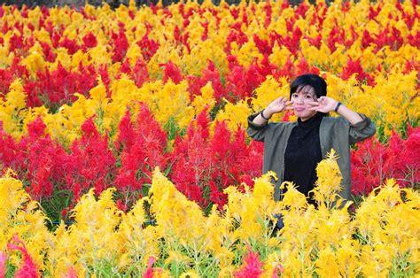 taman bunga celosia  hadir  jawa tengah
