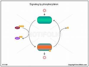 Signaling By Phosphorylation Illustrations