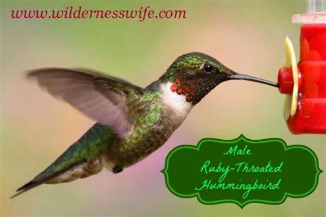 hummingbird food best 25 hummingbird food ideas on pinterest hummingbird food diy hummingbird feeder food and