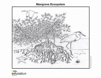 Ecosystem Mangrove Wetlands Coloring Pages Forest Geographic