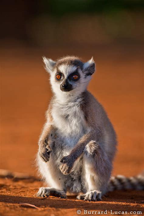 baby lemur sitting burrard lucas photography
