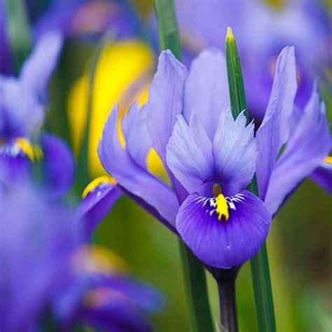 Săpun lichid cu floare de iris bio hidratant Tiama