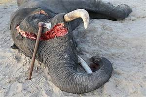 Carnage! The Business of Killing Elephants - Conservation ...