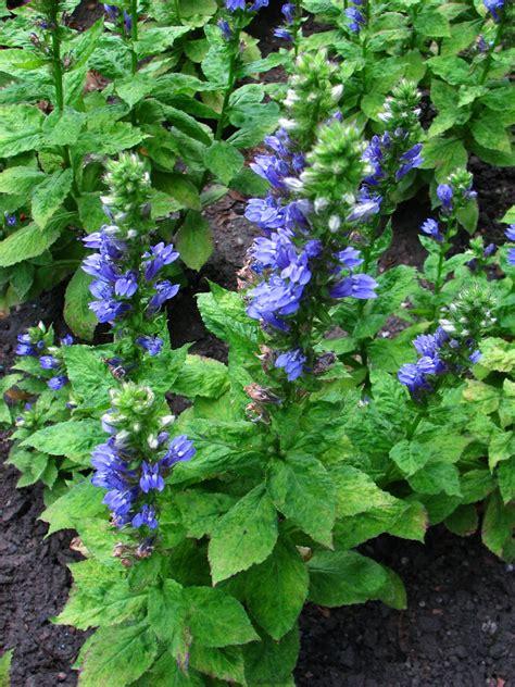 great garden plants great blue lobelia auntie dogma s garden spot