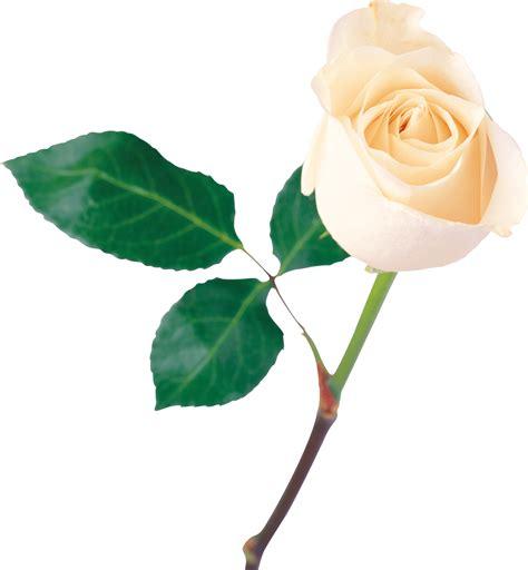 white rose png image flower white rose png