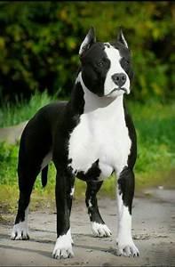 American Staffordshire Terrier Pitbull MY Pit bull puppy ...