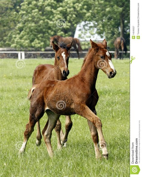 horses young running royalty foals meadow dreamstime
