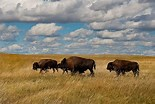 Image result for buffalo in the plains