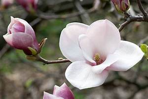 Pink and White Magnolia #4241031, 4050x4740