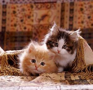 Fluffy Ginger And Tabby-and-white Kitten by Jane Burton