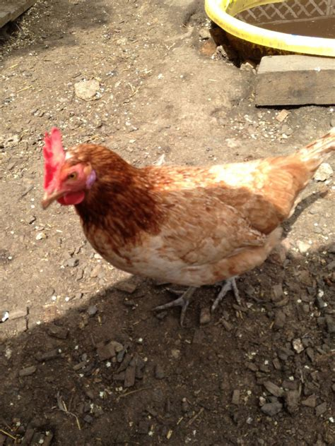 laying hens laying hens chickens for sale bedford bedfordshire pets4homes