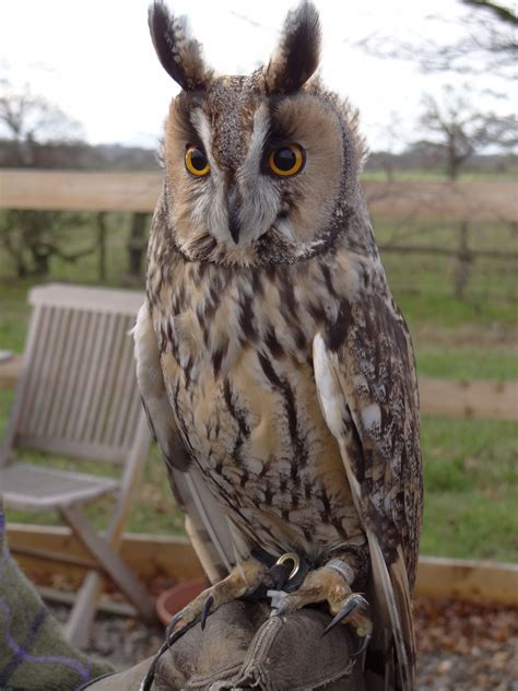File:Asio otus -Battlefield Falconry Centre, Shrewsbury ...