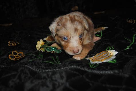shamrock rose aussies update   puppies born