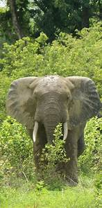 Kakum National Park Elephants | www.pixshark.com - Images ...