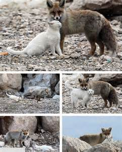 is a fox a or cat the unlikely friendship of a fox cat delight makers