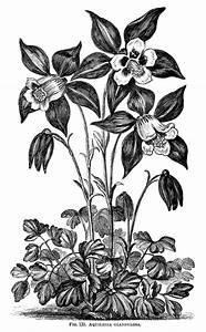 Camellia oleifera, camellia flower illustration, black and ...