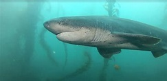 Diving with Sevengill Sharks at La Jolla Cove - Scuba San ...