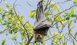 The Spectacled Flying Fox Bats Foxes And Animal T